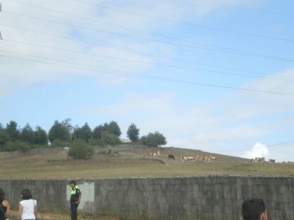 Las cabras, ovejas o bichios aleatorios que estaban viendo el festi